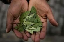 coca-leaf